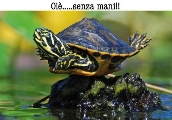 Olimpiadi delle tartarughe...