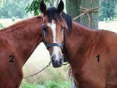 Di quale cavallo è la testa?