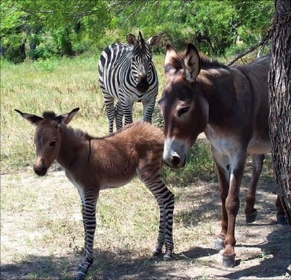 Da una storia d'amore clandestino tra una zebra e un asino proprio qui in Italia...