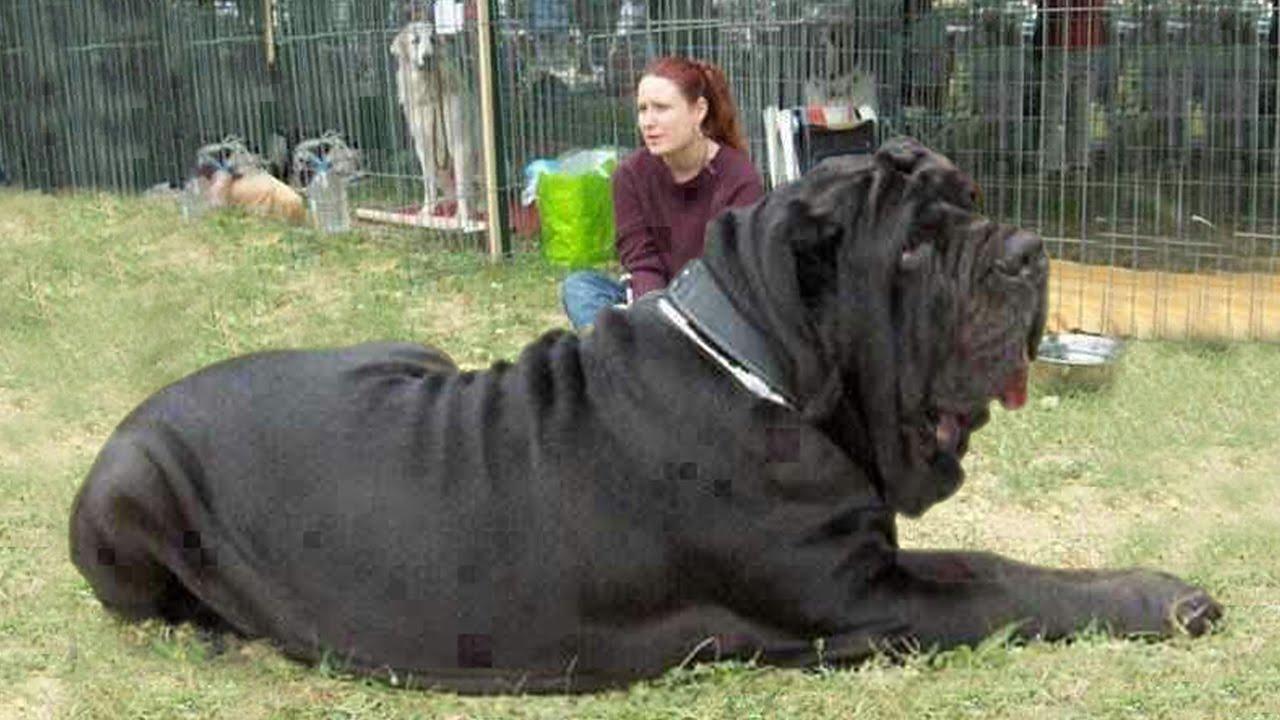 I 40 cani pi grandi del mondo video for I piu fighi del mondo